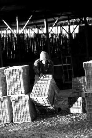 Boys lifting crates working at a vegetable farm